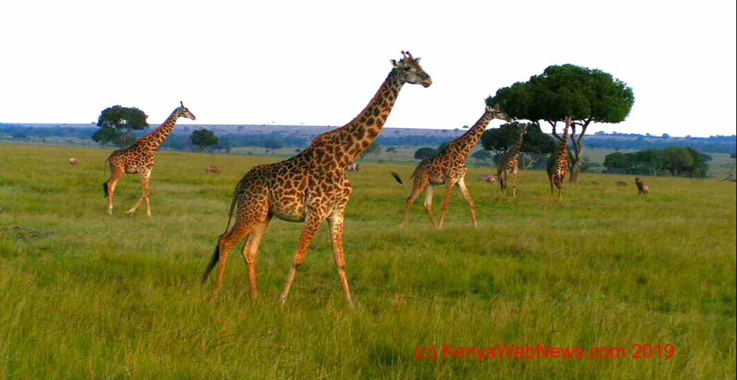 Wildlife, Kenya Wildlife protection, National Parks, Protection, Kenya, Trave Kenya, Safaris Kenya, Safari,